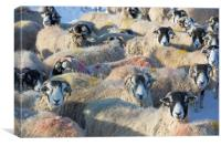 Sheep in winter, Yorkshire Dales, Canvas Print