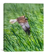 Marsh Harrier flying through the Reeds, Canvas Print