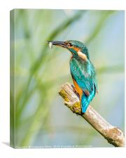 Female Kingfisher with her catch, Canvas Print
