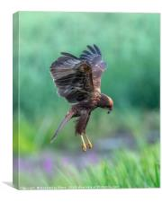 Marsh Harrier Juvenile dropping into the reedbed, Canvas Print