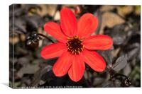 Red flower, black leaves, Canvas Print