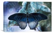 Blue butterfly, Great Yellow Mormon., Canvas Print