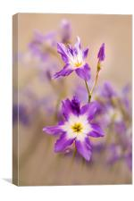 Violet, tiny flowers (Leucocoryne) in the sunshine, Canvas Print