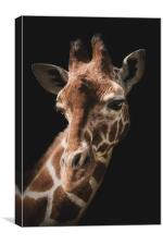 Portrait of a giraffe on a black background., Canvas Print