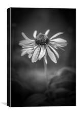 Withering Beauty - In Black and White., Canvas Print