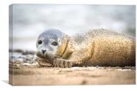 Seal Pup on the Beach., Canvas Print