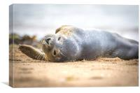 Seal Pup on Scarborough Beach., Canvas Print