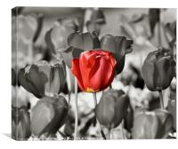 A Single Red Tulip, Canvas Print