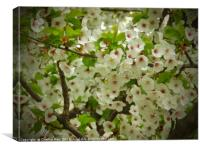 Flowering cherry blossom tree, Canvas Print