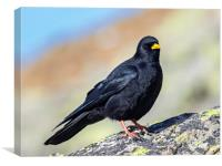 Yellow billed chough, Canvas Print