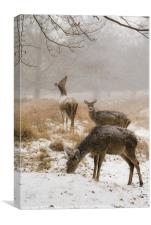 Red Deer in the snow, Canvas Print