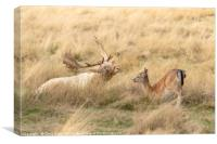 Fallow Deer stag and fawn having a moment, Canvas Print
