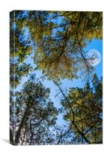 Looking up through the pines towards the moon, Canvas Print