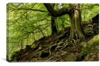 Twisted Roots - Padley Gorge, Derbyshire, Canvas Print
