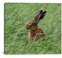 Inquisitive Hare, Canvas Print
