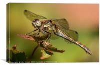Dragonfly at rest, Canvas Print