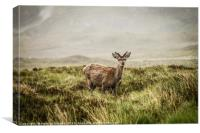 Roe deer in the Scottish Highlands, Canvas Print