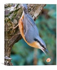 Nuthatch dropping Nut, Canvas Print