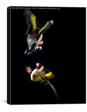 Goldfinch Fight, Canvas Print