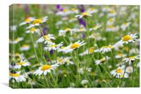 chamomile field, Canvas Print