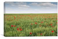 field with green wheat and poppy flower, Canvas Print