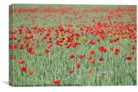 green wheat and red poppy flowers field, Canvas Print