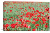 green wheat with poppy flowers, Canvas Print