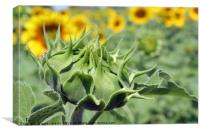 closed sunflower close up agriculture, Canvas Print