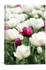 white and red tulip flower, Canvas Print