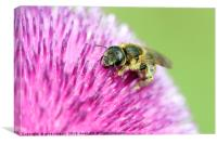 bee on flower close up, Canvas Print