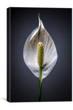 Japanese Peace Lily , Canvas Print