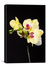 Yellow Orchids Still Life , Canvas Print