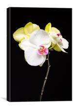 White And Yellow Orchids , Canvas Print