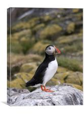 Black and white Puffin, Canvas Print