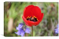 Open Red Tulip Flower, Canvas Print