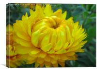 A yellow Dahlia in bloom, Canvas Print