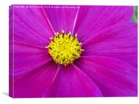 A close up of view of a garden cosmos , Canvas Print