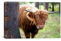 Young Highland Bull Peeks Behind Tree, Canvas Print
