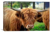 Portrait of Young Highland Bull, Canvas Print