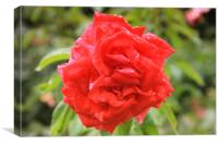 Beautiful red rose in the park, Canvas Print