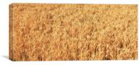 Ripe wheat kernels ready for harvesting, Canvas Print