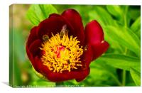 close up of red magenta peony flower, Canvas Print