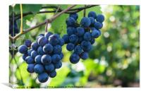 ripen blue black grapes - hanging grapes from grap, Canvas Print