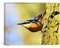 climbing nuthatch., Canvas Print