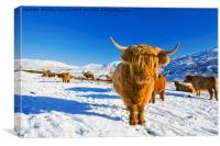 Highland Cattle., Canvas Print