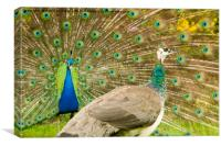 Peacock display, Canvas Print