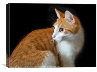 Ginger red cat on black background, Canvas Print