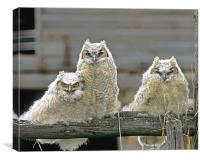 Great Horned Owl Fledglings, Canvas Print