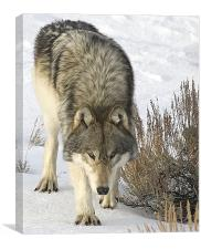Gray Wolf, Canvas Print