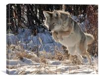 coyote Jumping, Canvas Print